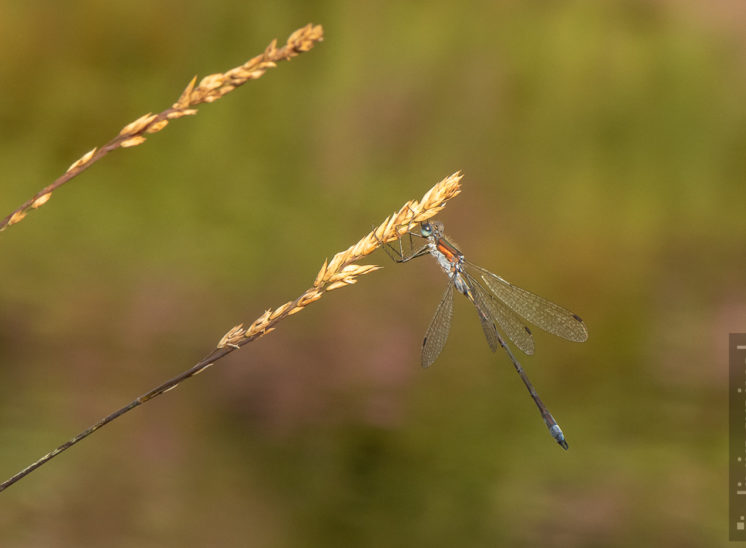 Libelle (Dragon fly)
