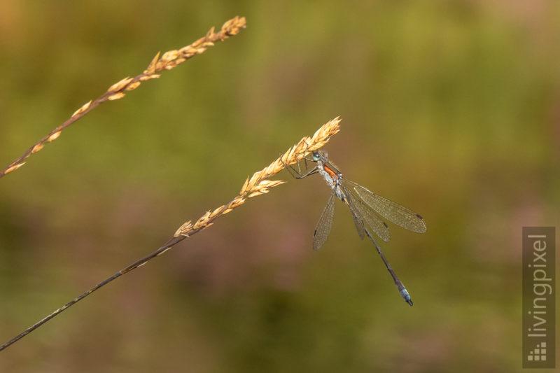 Libelle (Dragon fly)