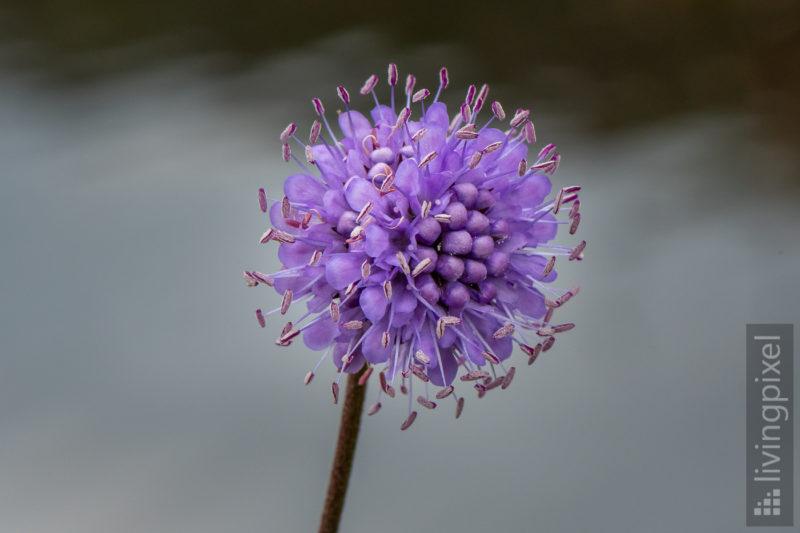 Lila Blume (Violet blossom)