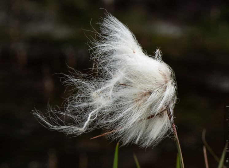 Wollgras (Cotton grass)