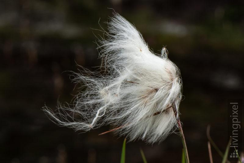 Wollgras (Cotton grass)