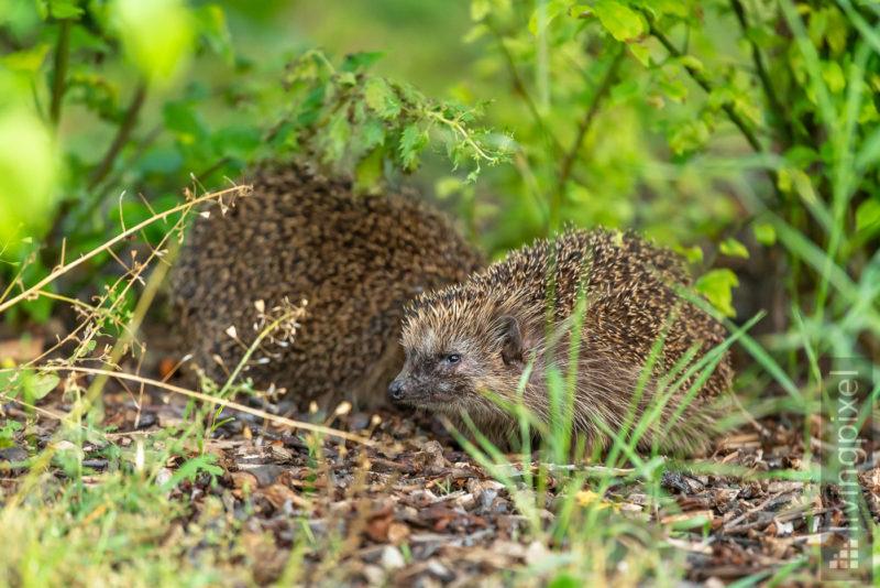 Igel (Hedgehog)