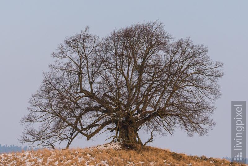 Linde (Linden tree)