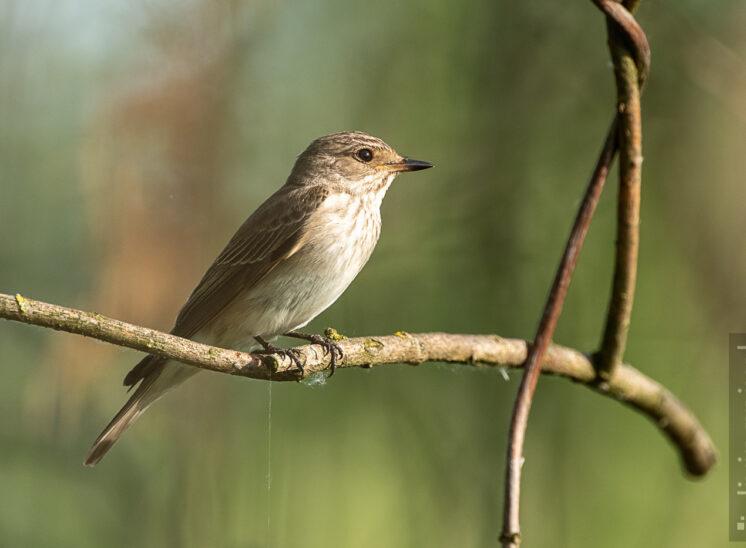 Nachtigall (Nightingale)