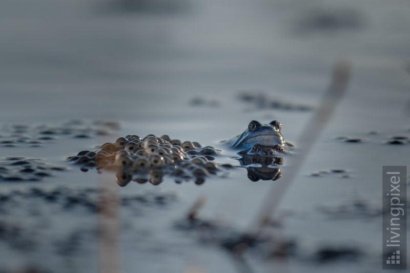 Moorfrosch (Moor frog)