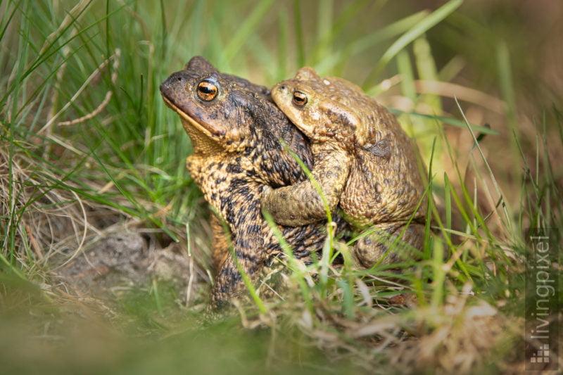 Erdkröte (Common toad)