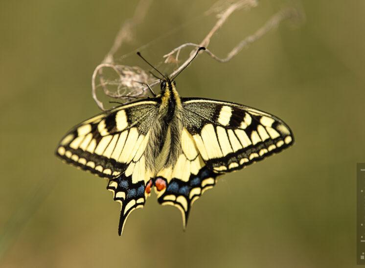 Schwalbenschwanz (Old World swallowtail)