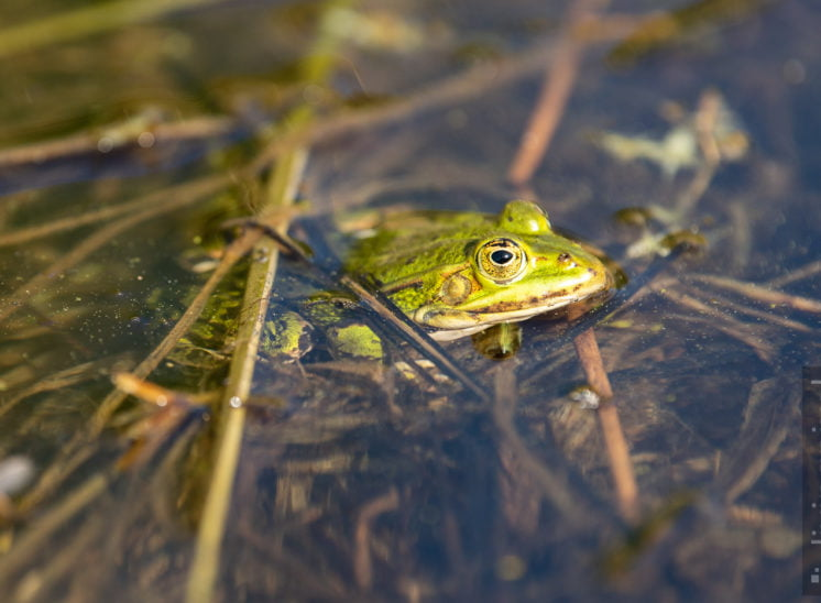 Teichfrosch (Edible frog)