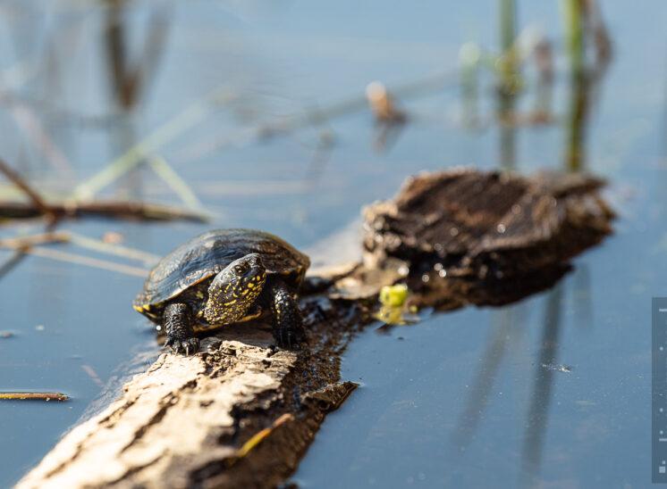 Europäische Sumpfschildkröte (European pond turtle)