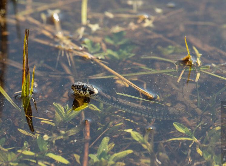 Ringelnatter (Grass snake)