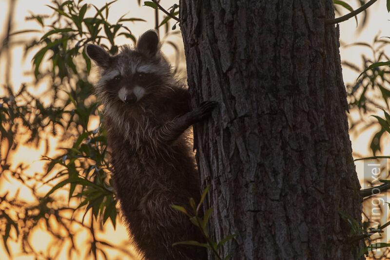 Waschbär (Raccoon)