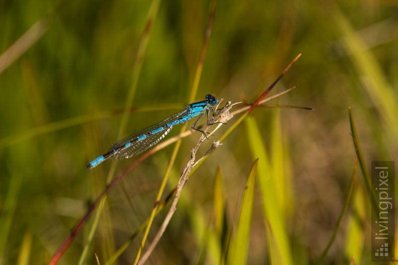 Speer-Azurjungfer (Coenagrion hastulatum)