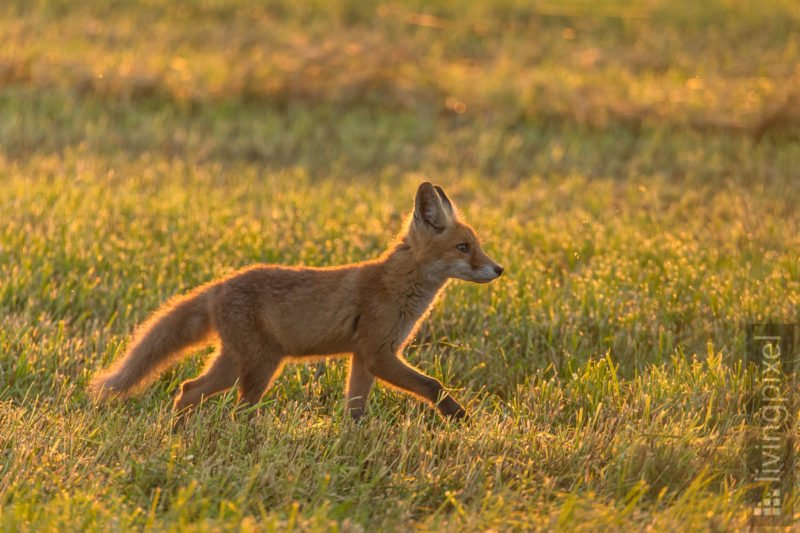 Rotfuchs - Jungtier (Red fox - juvenile)