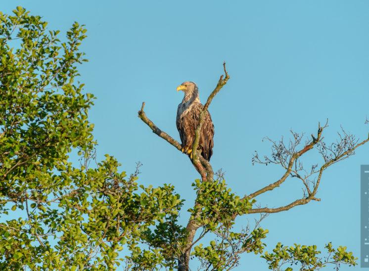 Seeadler (Sea eagle)