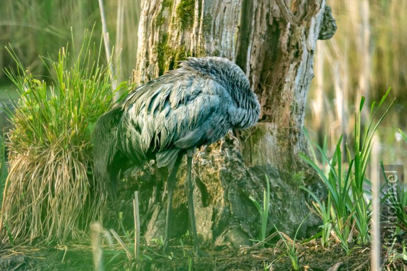Graureiher (Grey heron)