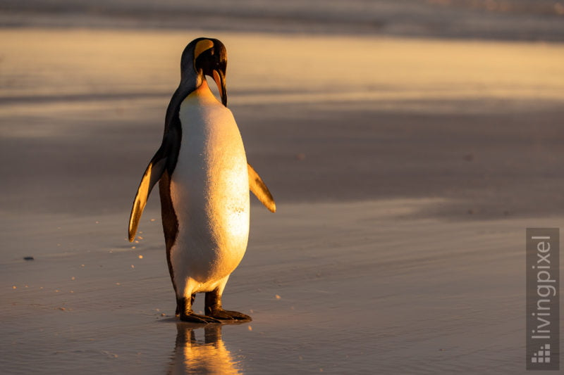 Königspinguin (King penguin)
