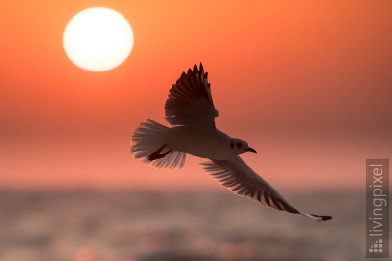 Lachmöwe (Black-headed gull)