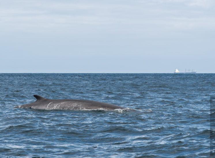 Finnwal (Fin whale)