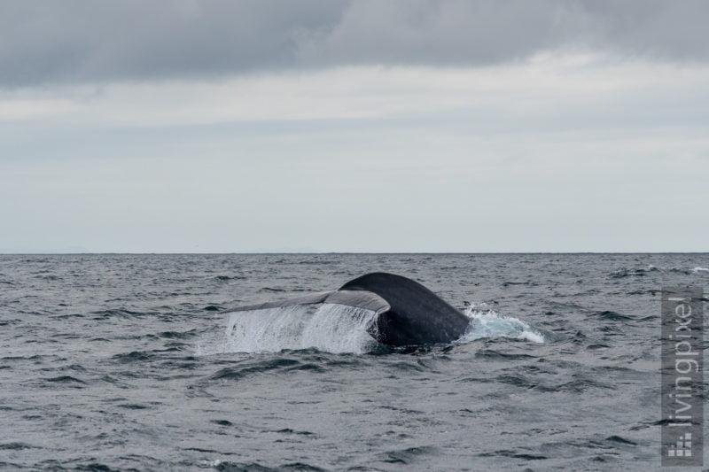 Blauwal (Blue whale)