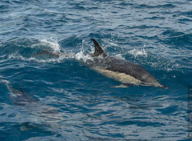 Gemeiner Delfin (Short-beaked common dolphin)