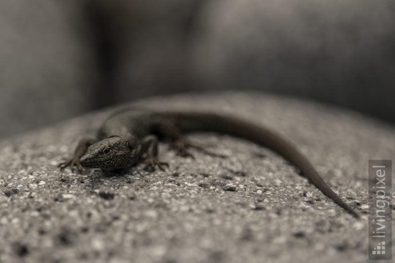 Madeira Mauereidechse (Madeiran wall lizard)