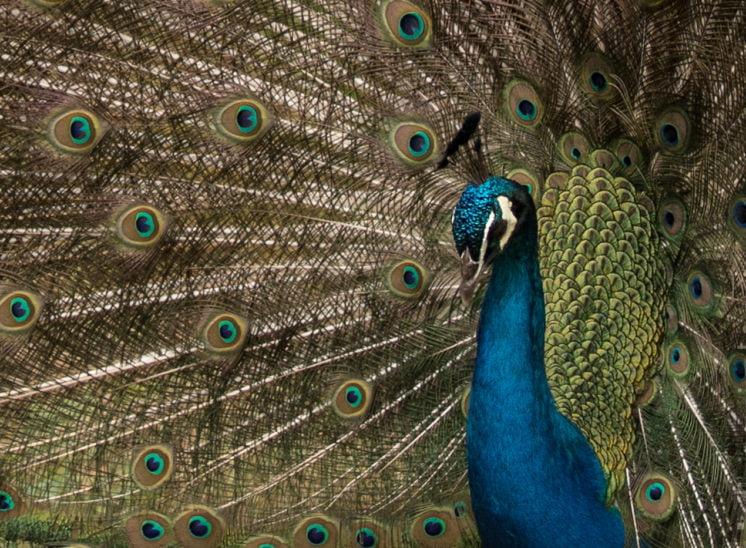 Blauer Pfau (Indian peafowl)