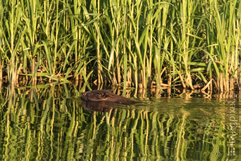 Biber (Beaver)