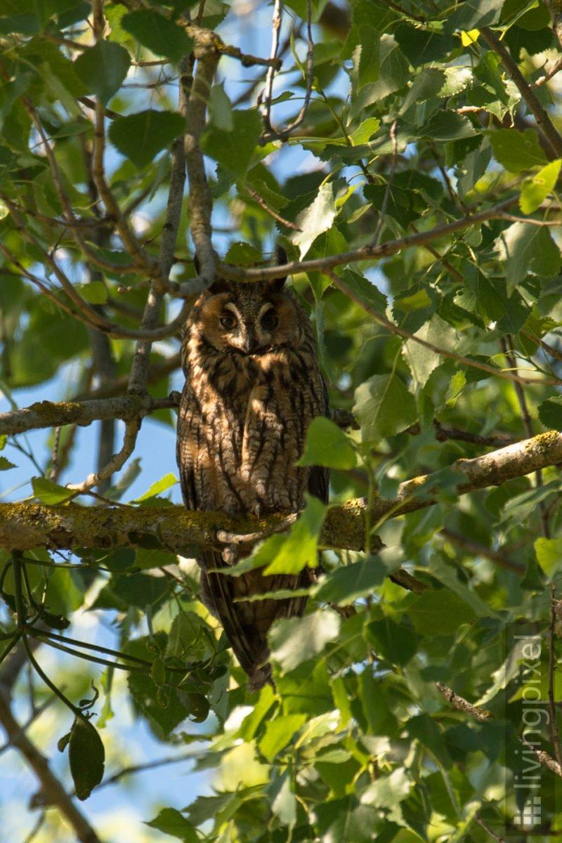 Waldohreule (Long-eared owl)