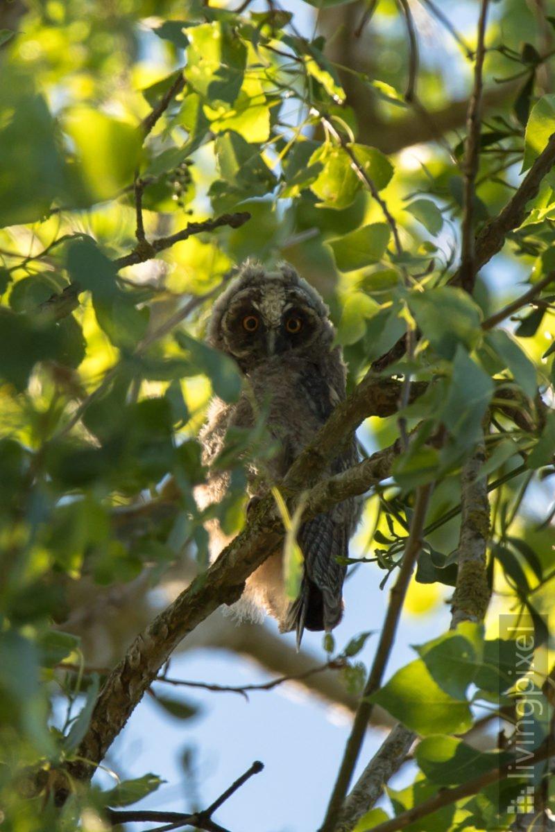 Waldohreule - Ästling (Long-eared owl - Juvenile)