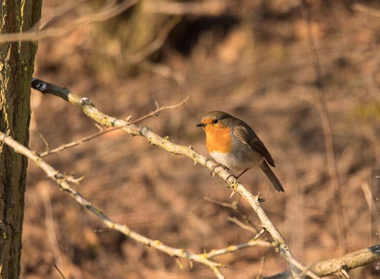 Rotkehlchen (European robin)