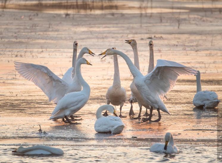 Singschwan (Whooper swan)