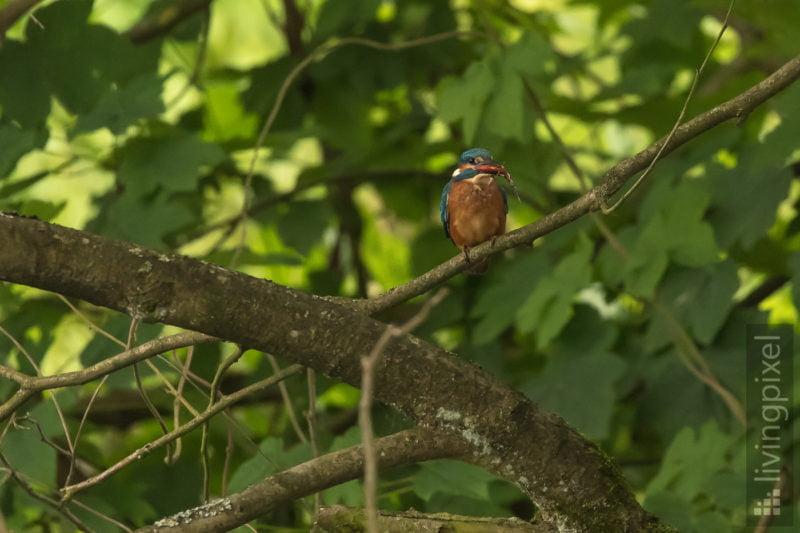 Eisvogel (Common kingfisher)