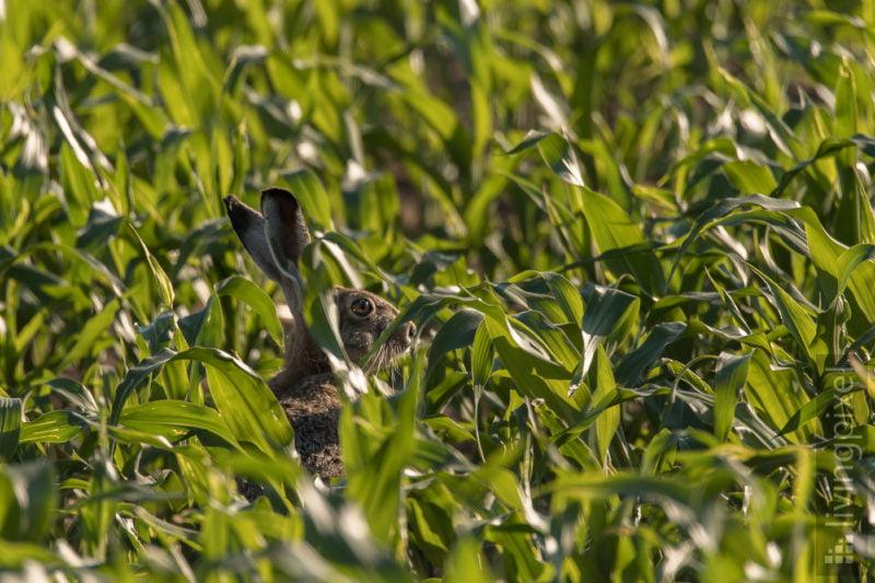 Feldhase (European hare)