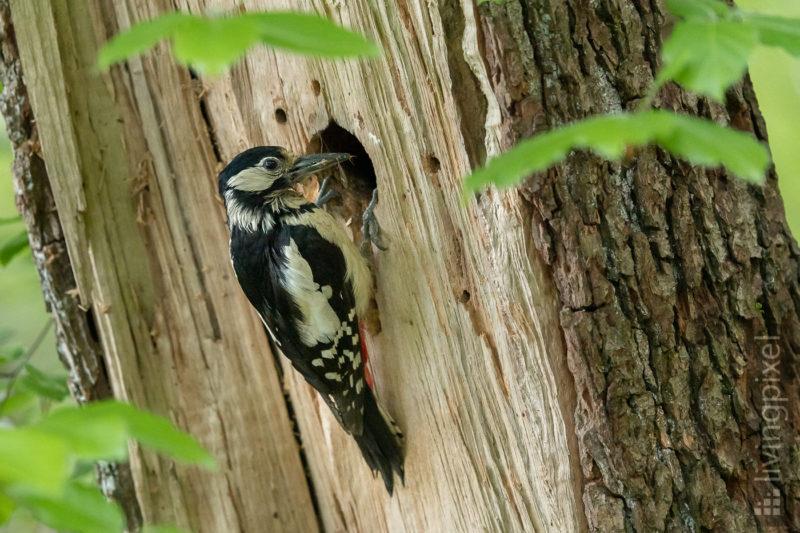 Buntspecht (Great spotted woodpecker)