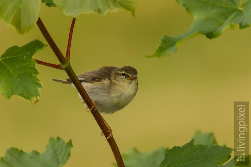 Fitis (Willow warbler)