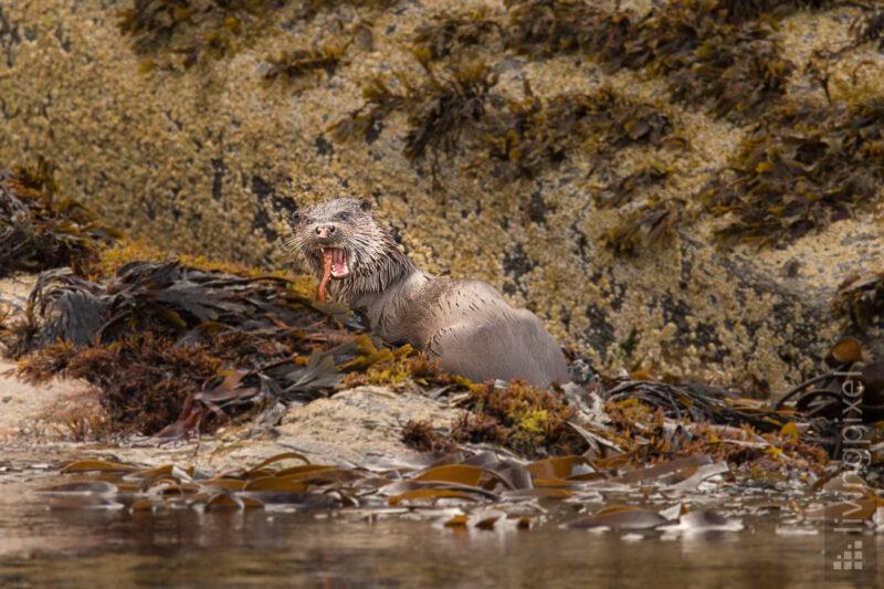 Fischotter (Eurasian otter)