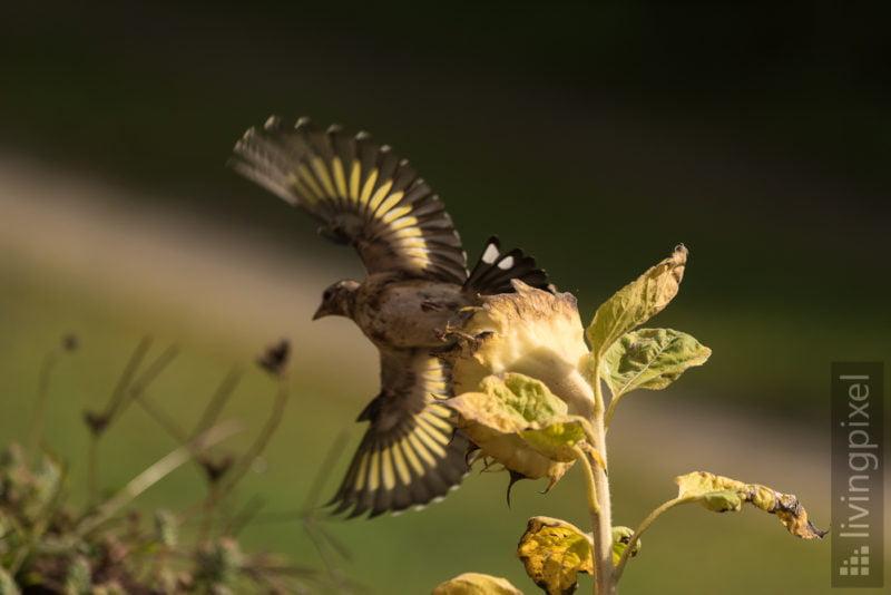 Stieglitz (European goldfinch)