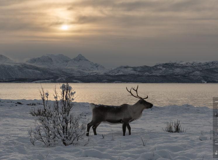 Rentier am Fjord (Reindeer)