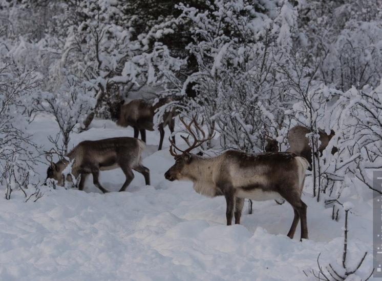 Rentier (Reindeer)