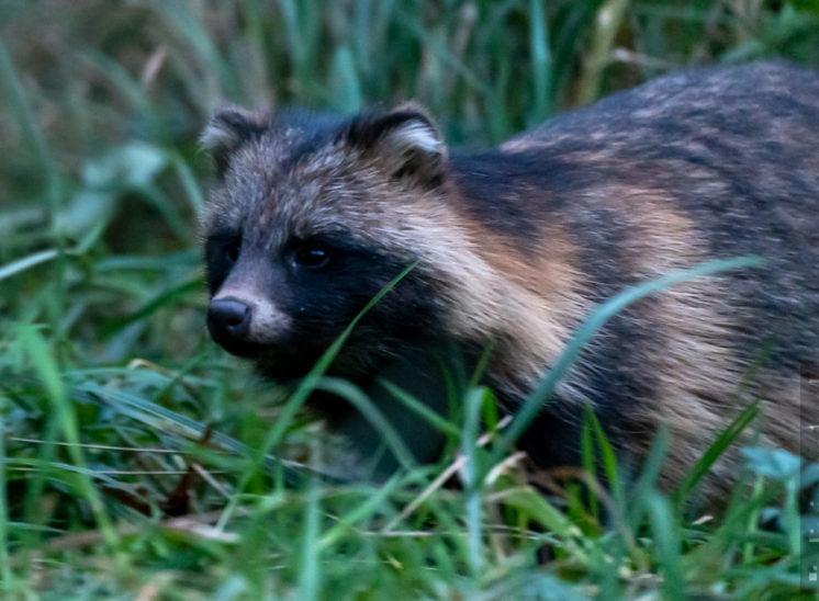 Marderhund (Raccoon dog)