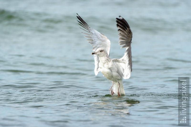 Silbermöwe (European herring gull)