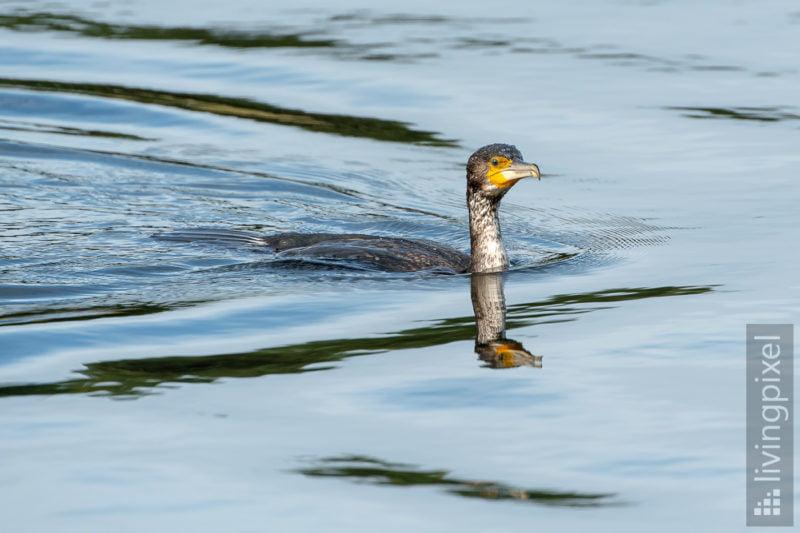 Kormoran (Great cormorant)