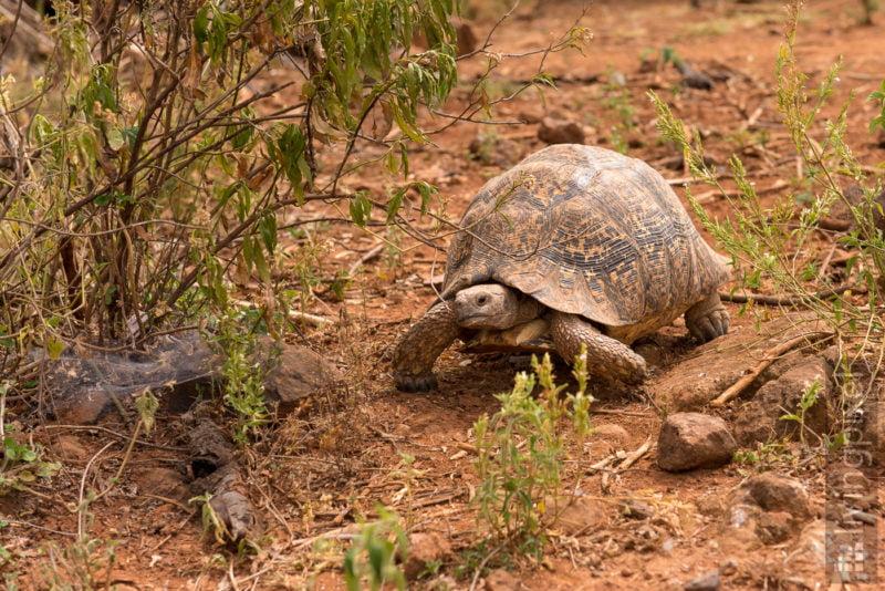 Leopradschildkröte (Leopard tortoise)