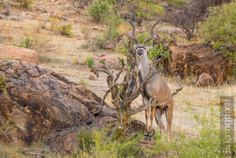 Großer Kudu (Greater kudu)