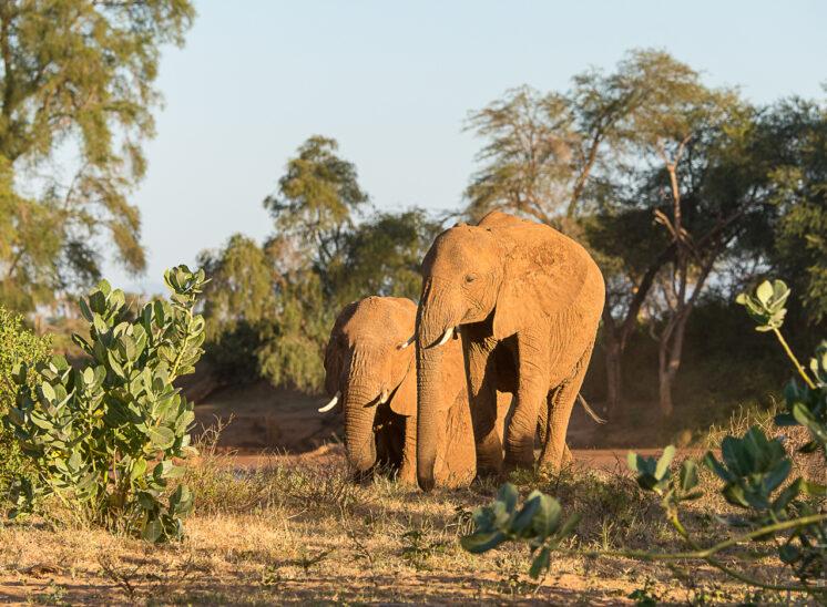 Elefant (Elephant)
