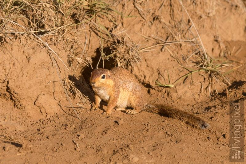 Afrikanische Buschhörnchen (African bush squirrel)