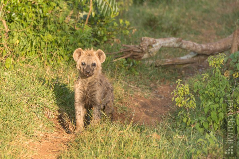 Tüpfelhyäne (Spotted hyena)