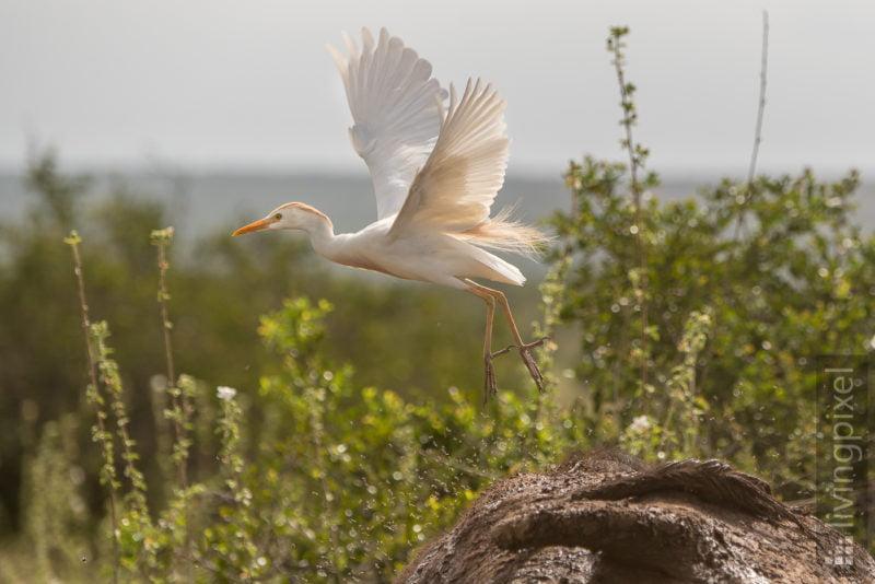 Kuhreiher (Western cattle egret)
