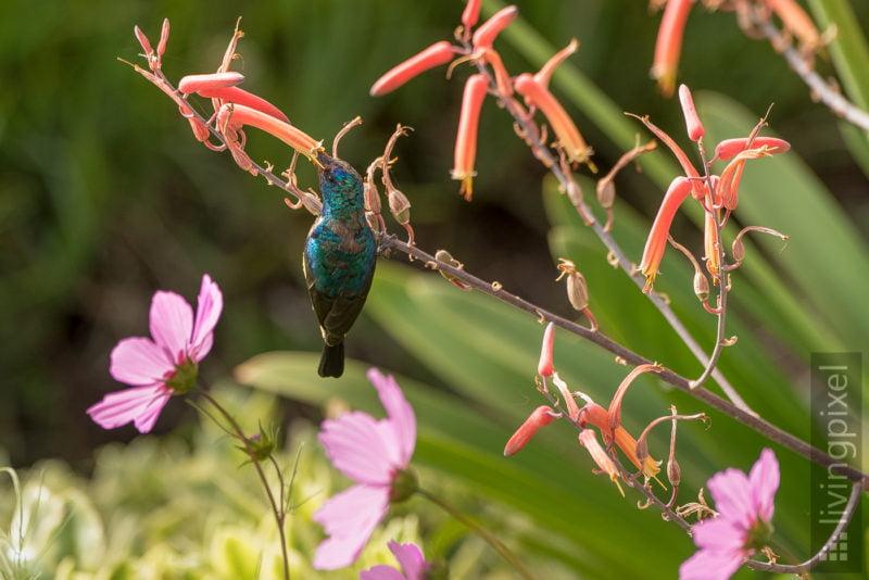 Waldnektarvogel (Collared sunbird)