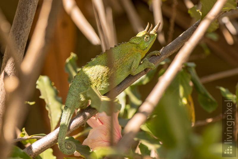 Dreihornchamäleon (Jackson's chameleon)